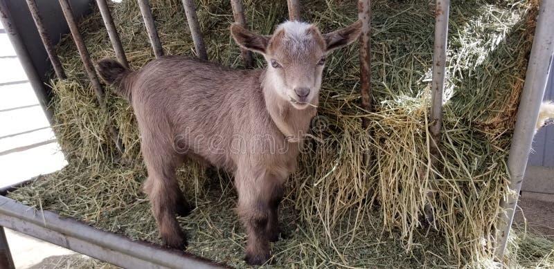 Pygmy goat kid munching on straw - Baby Goat - Capra aegagrus hircus stock photography