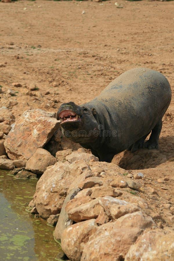 pygmy hippo στοκ εικόνες