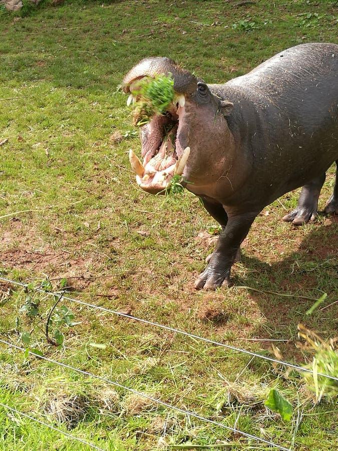 Pygmy Hippo Catch! stock image