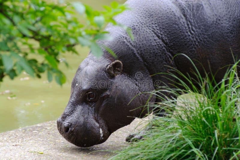 Pygmy hippo door de pool stock foto's