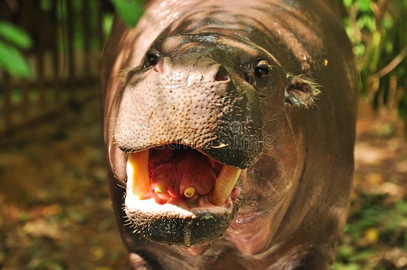 PYGMY HIPPO royalty free stock images