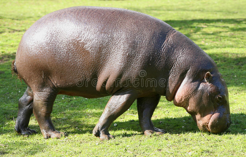 Pygmy Hippopotamus grazing royalty free stock photos