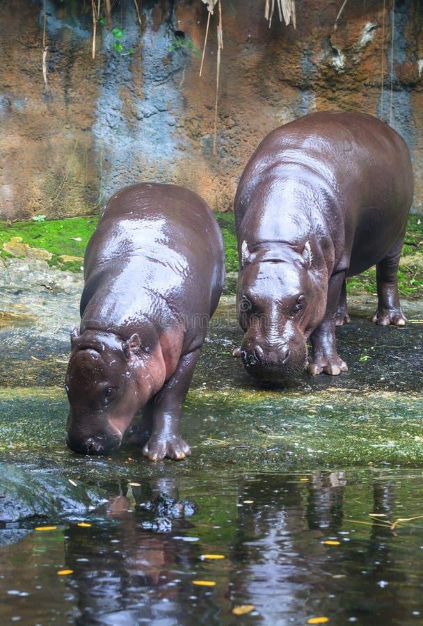 Pygmy Hippos stock foto