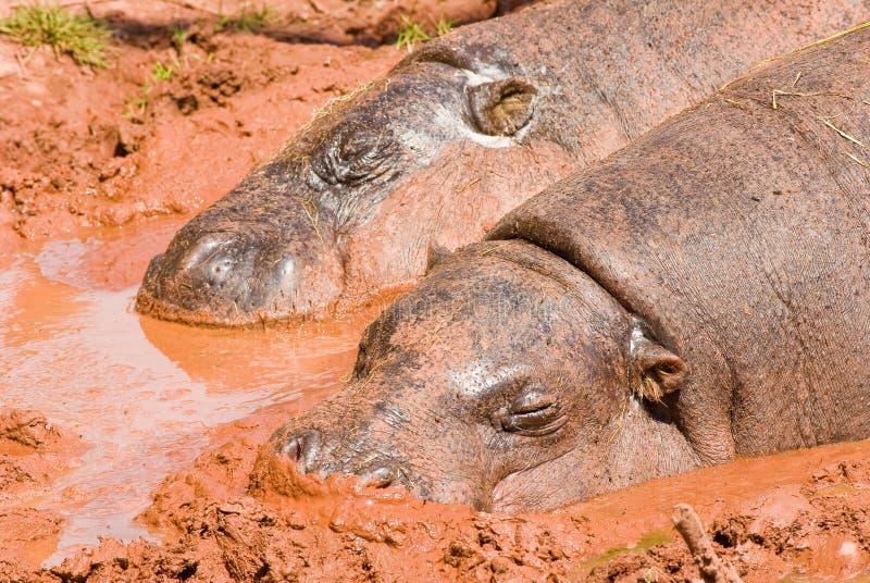 Pygmy Hippos in mud bath royalty free stock image