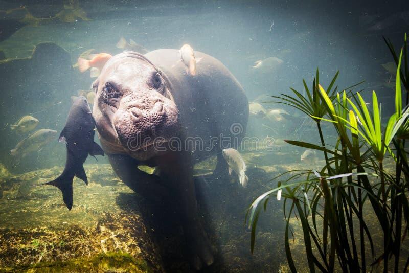 Pygmy hippos onderwater stock fotografie
