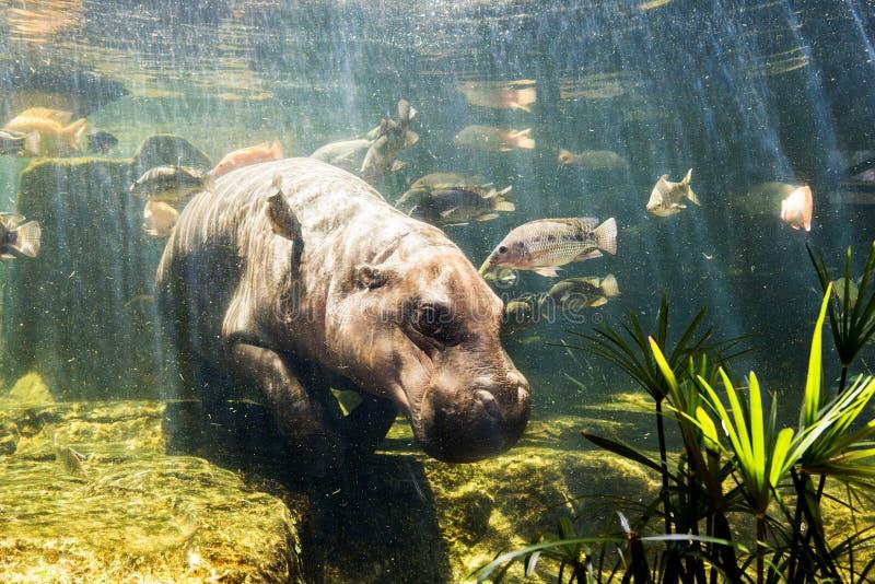 Pygmy hippos onderwater stock afbeeldingen