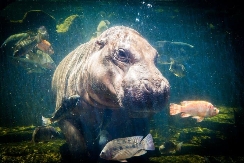 Pygmy hippos onderwater royalty-vrije stock afbeeldingen