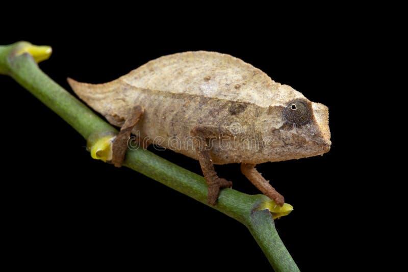 Pygmy kameleon royalty-vrije stock fotografie