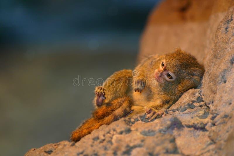 Download Pygmy marmoset stock photo. Image of pygmy, rock, close - 1547038