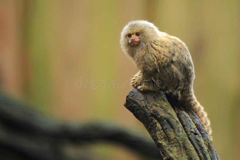 Pygmy marmoset stock photography