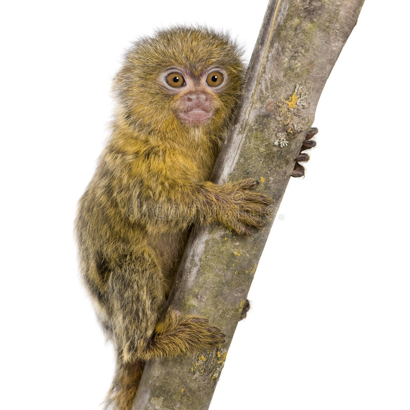 Download Pygmy Marmoset (5 weeks) stock image. Image of primate - 4783553