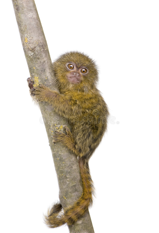 Download Pygmy Marmoset (5 Weeks) Royalty Free Stock Photography - Image: 4783747