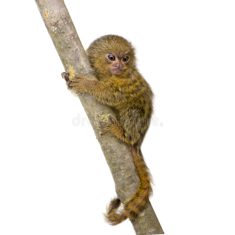 Download Pygmy Marmoset (5 weeks) stock image. Image of young, tail - 4783809