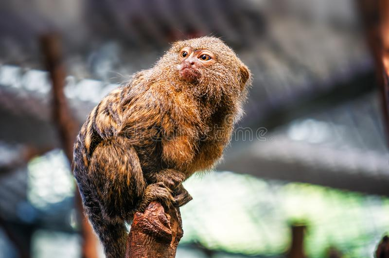 Pygmy marmoset holding onto the branch of a tree. Alive pygmy marmoset holding onto the branch of a tree royalty free stock photo