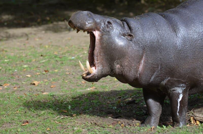 Pygmy Nijlpaard met Slagtanden in Zijn Mond stock afbeelding