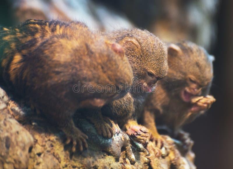 Pygmy ouistitifamilie royalty-vrije stock foto's
