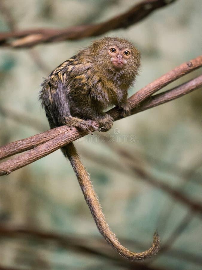 Pygmy pygmaea van ouistiticebuella stock foto's