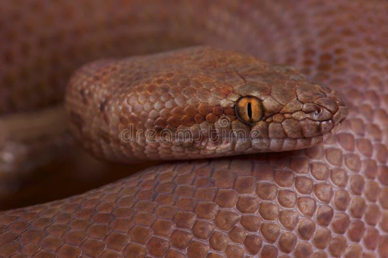 Pygmy python/Antaresia-perthensis royalty-vrije stock afbeelding