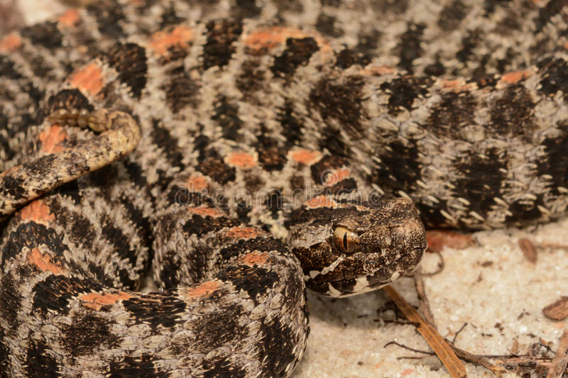 Pygmy Rattlesnake stock photos