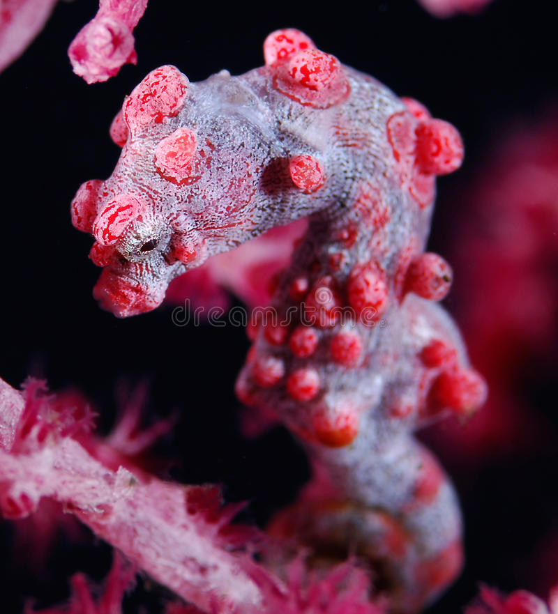 Download Pygmy Seahorse (Hippocampus Bargibanti) Stock Image - Image: 15441367