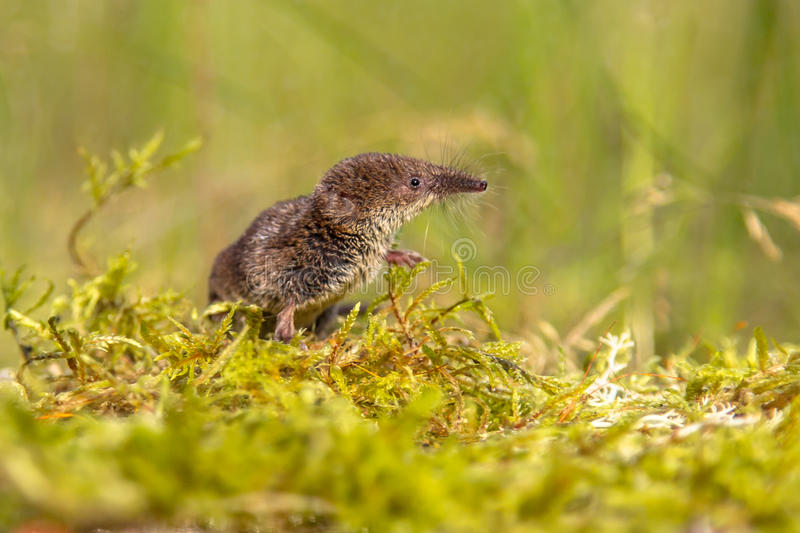 Pygmy shrew που κοιτάζει στο φυσικό περιβάλλον στοκ φωτογραφίες