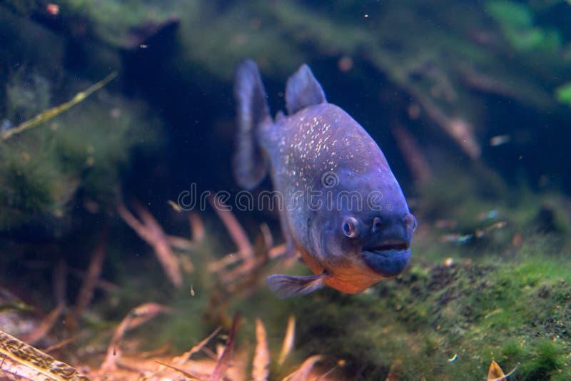 Piranha closeup in the aquarium, Pygocentrus nattereri. Pygocentrus nattereri also know as red bellied Piranham, amazonian fish stock photography