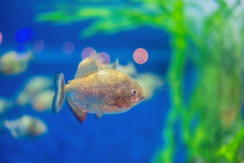 Pygocentrus nattereri. Piranha closeup in the aquarium.  stock image