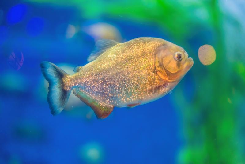 Pygocentrus nattereri. Piranha closeup in the aquarium.  royalty free stock photography