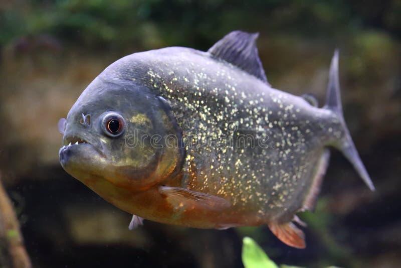 Pygocentrus nattereri. Piranha with mouth open. Pygocentrus nattereri. Piranha closeup in the aquarium stock photography