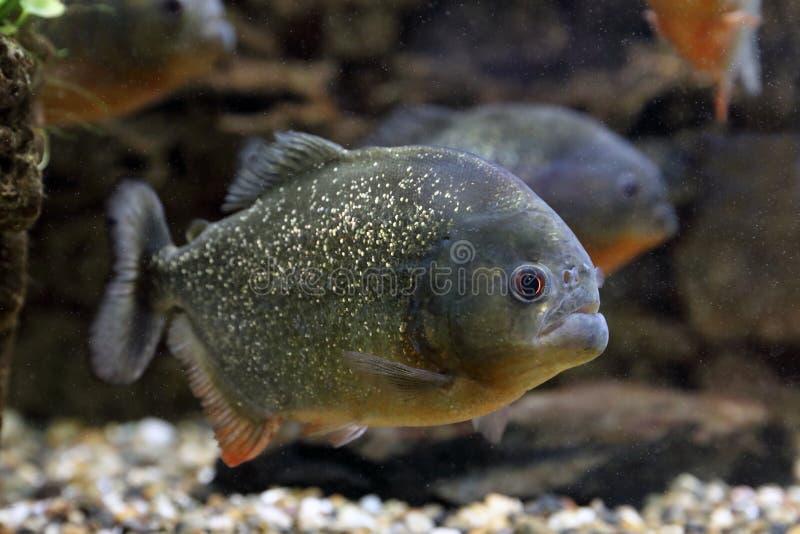 Pygocentrus nattereri. Predatory piranha swims in the interior of the aquarium. Pygocentrus nattereri. Piranha closeup in the aquarium stock images