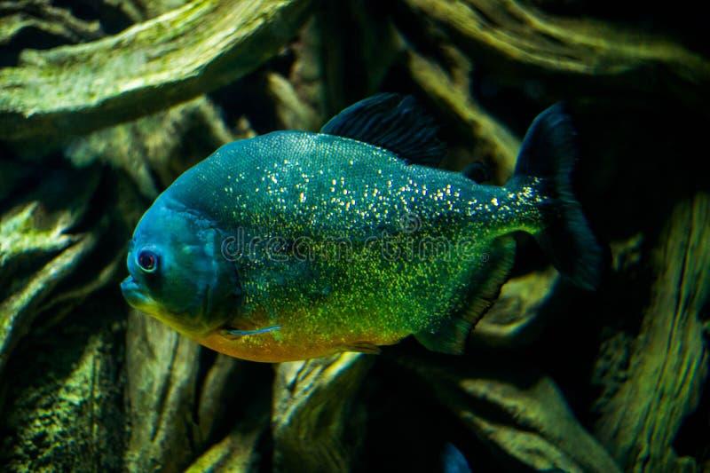 Pygocentrus nattereri Red-bellied Piranha. Predatory fish Red-bellied Piranha Pygocentrus nattereri royalty free stock photos