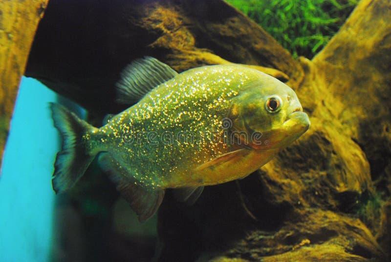 Pygocentrus nattereri. Red piranha. Green wood background stock photos