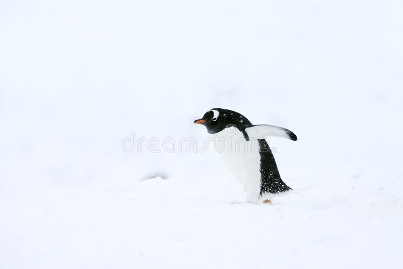 pygoscelis της Παπούας gentoo penguin στοκ φωτογραφία με δικαίωμα ελεύθερης χρήσης