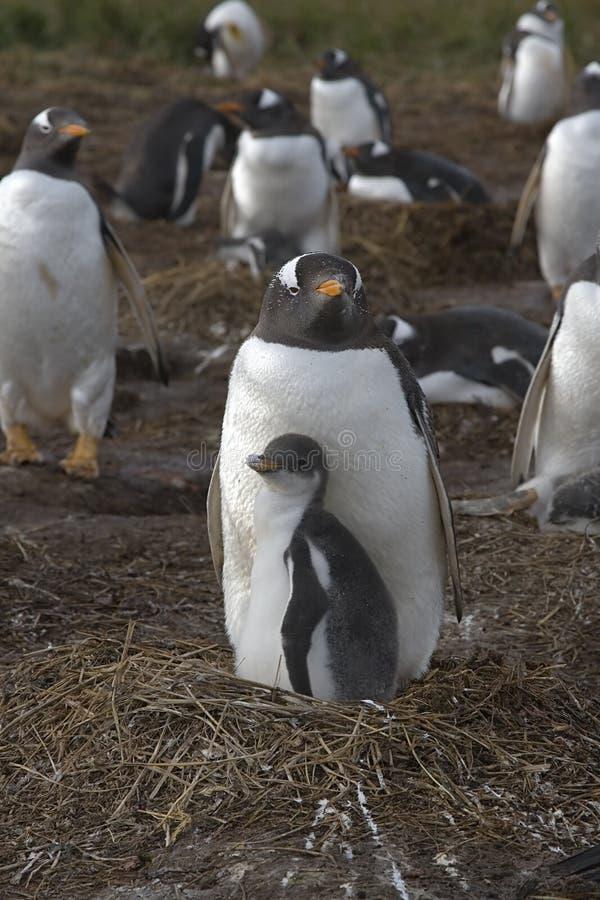 pygoscelis пингвинов Папуа gentoo стоковое фото