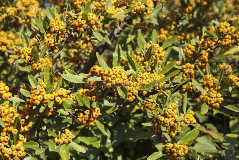 Pyracantha angustifolia es un género de arbustos espinosos evergreen en la familia Rosaceae fotos de archivo libres de regalías