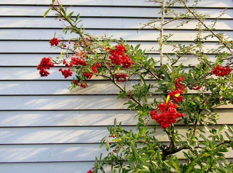 Pyracantha angustifolia oder narrowleaf firethorn Strauch mit roten Beeren gegen blaue Wand lizenzfreies stockbild