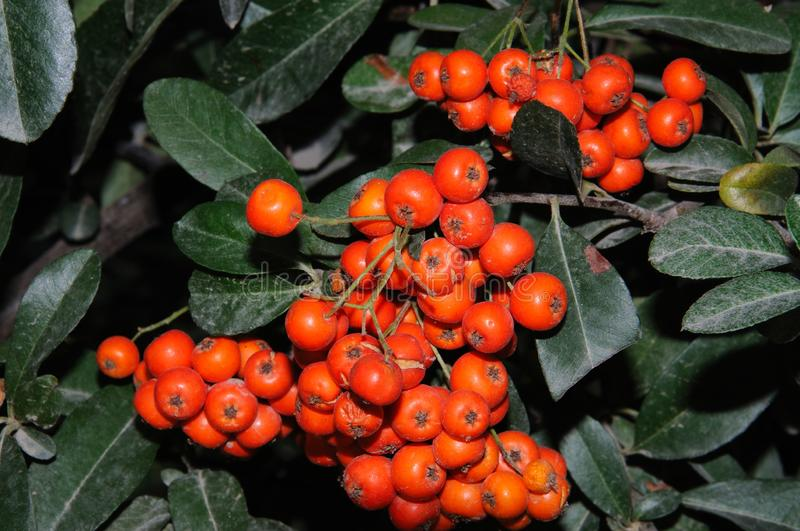 Pyracantha Coccinea berries, Spain. Pyracantha coccinea in full bloom during the Autumn, Malaga, Costa del Sol, Malaga Province, Andalucia, Spain, Europe royalty free stock photography
