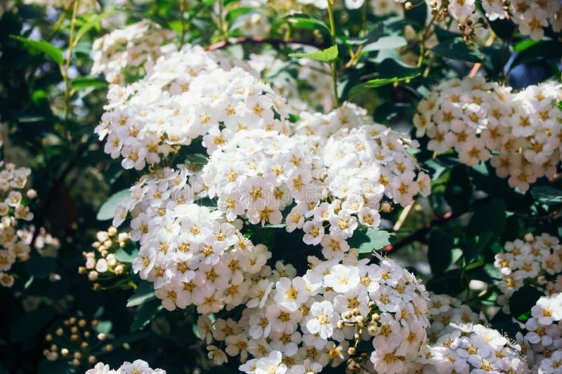Pyracantha Firethorn Busch mit weißen kleinen Blumen mit gelben Herzen stockfoto