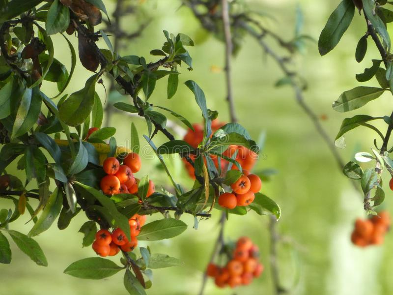 Pyracantha or Firethorn with its orange berries at the edge of green water. Pyracantha is a genus of large, thorny evergreen shrubs in the family Rosaceae. The stock photos
