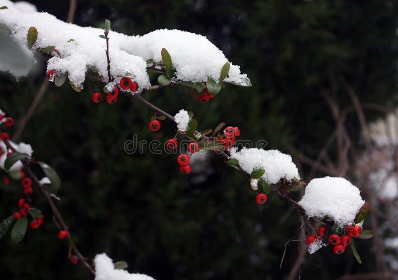 Pyracantha in sneeuw royalty-vrije stock fotografie