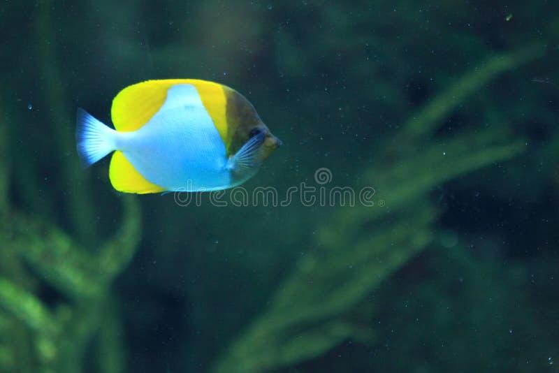 Pyramid butterflyfish royalty free stock photo