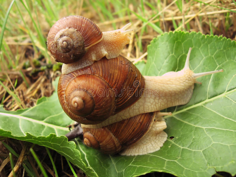 Download Pyramid of three snails stock photo. Image of leaf, braun - 14648090