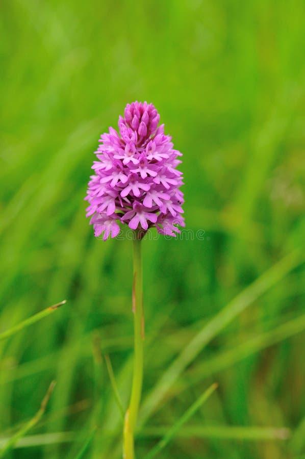 Pyramidal orchid Anacamptis pyramidalis royalty free stock images