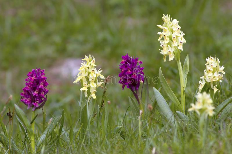 Pyramidal Orchid Anacamptis pyramidalis growing wild in a meadow in Gran Paradiso National Park stock images