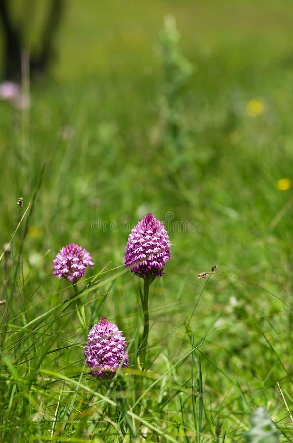 Pyramidal orchid plants on a green field – Anacamptis pyramidalis royalty free stock photos