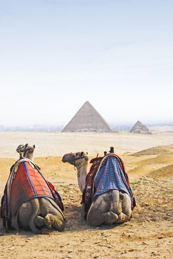 pyramider för 1 kamel fotografering för bildbyråer