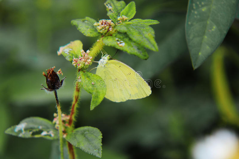 Pyranthe de Catopsilia photographie stock