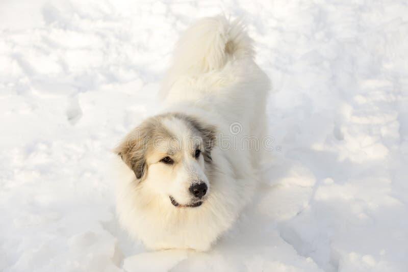 Pyrenean σκυλί βουνών που στέκεται στο βαθύ φρέσκο χιόνι στοκ εικόνες