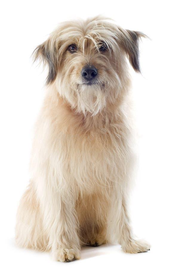Pyrenean τσοπανόσκυλο στοκ εικόνα