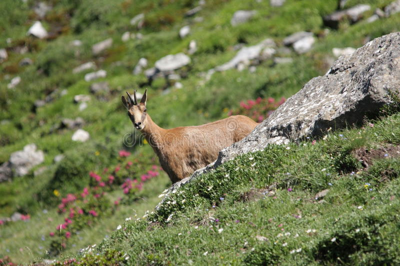 Download Pyrenean Chamois stock photo. Image of chamois, pyrenees - 16971744